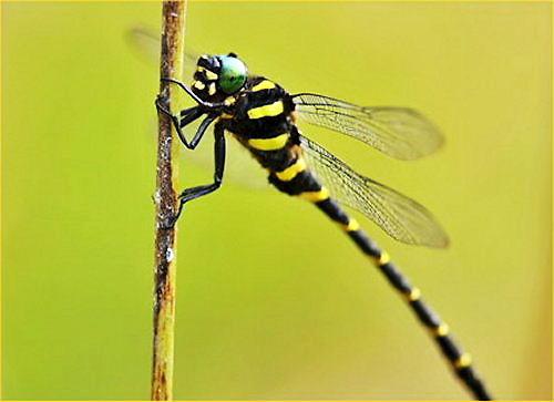 06 jumbo dragonfly