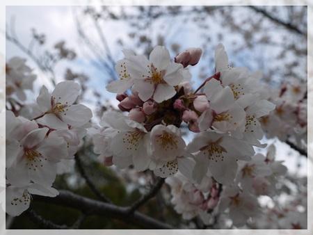 2014花見散歩1