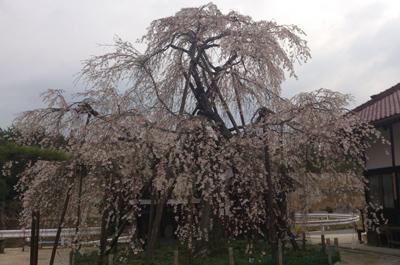 金剛寺のしだれ桜全景