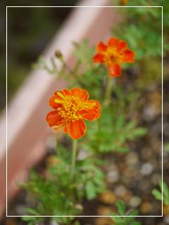 marigolds2014-06.jpg