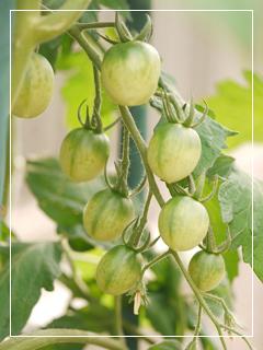 tomato2014-04.jpg