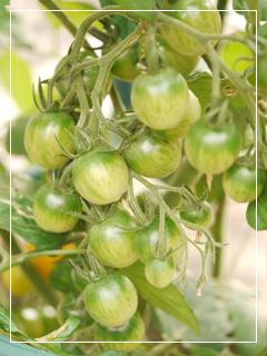 tomato2014-05.jpg