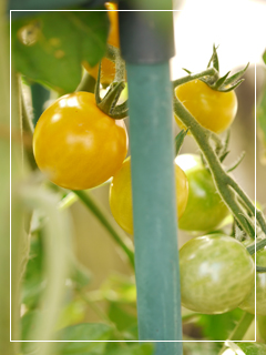 tomato2014-06.jpg