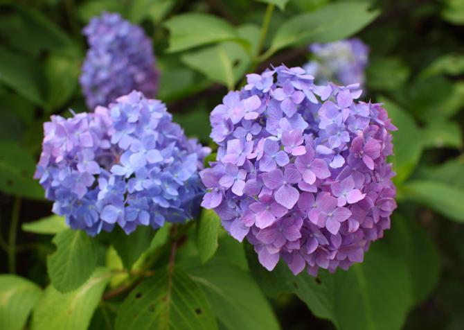 グラデ紫陽花