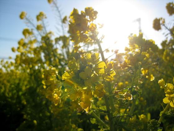 菜の花02-05