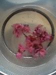 桜レアチーズ02