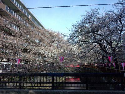 sakura_1550.jpg