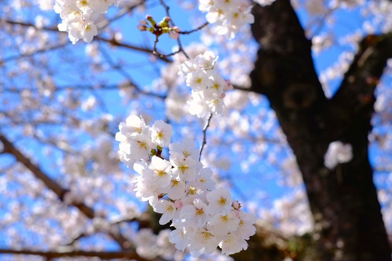 豊田高専桜並木1