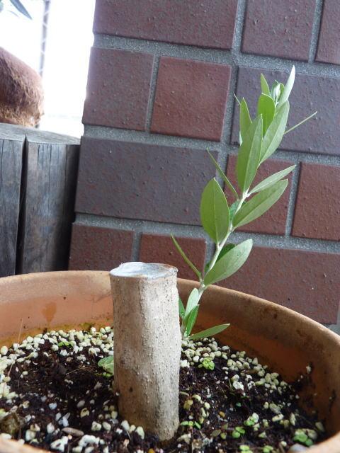 オリーブの挿し木から