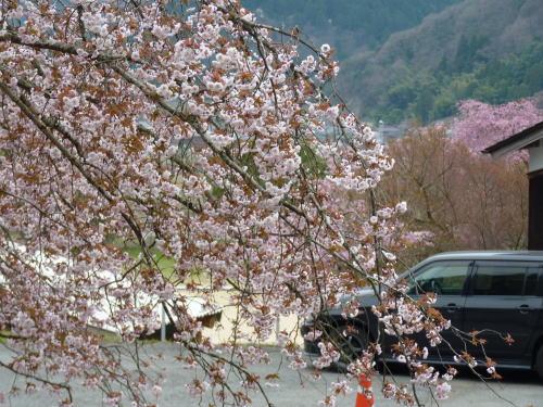 正福寺桜その1