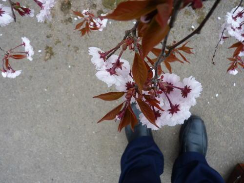 枝垂れの正福寺桜