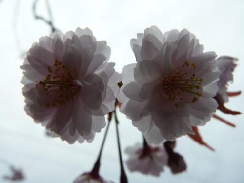 花弁がたくさん 正福寺桜