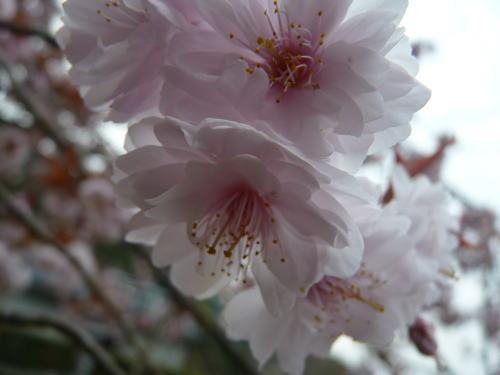アップで 正福寺桜