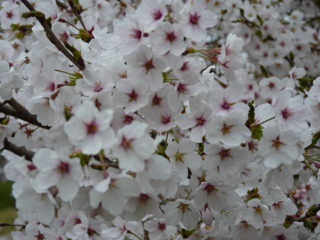 バス停の横の桜
