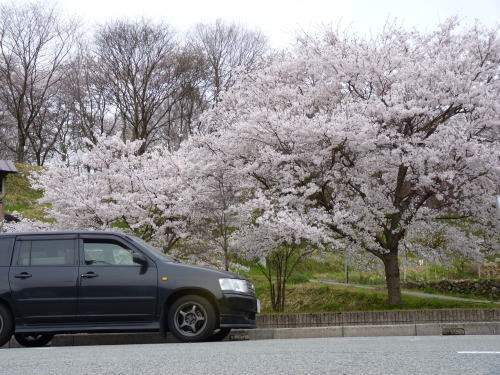 ローアングルから 桜