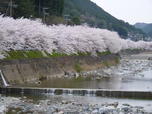 川沿いの 桜並木