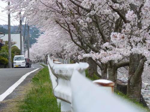 どこまで続く 桜並木