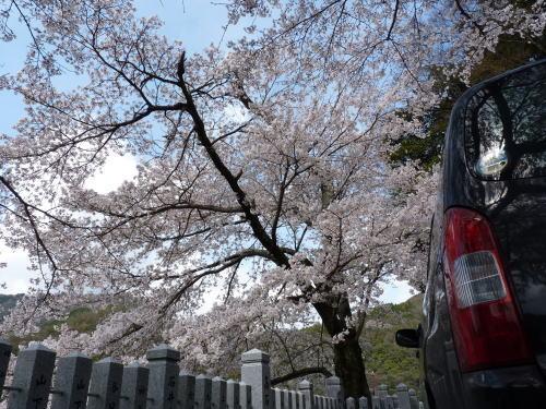 美国神社の桜