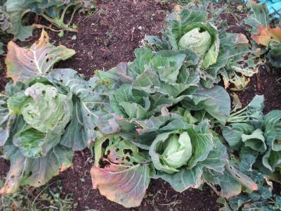 cabbage2.jpg