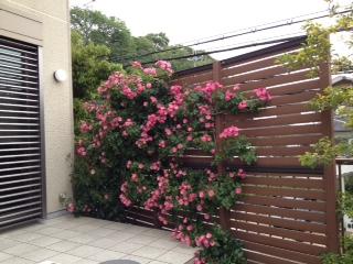 我が家の薔薇(6分咲き)