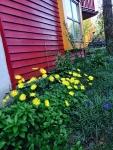 ヒルゲン黄色い花