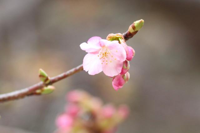 カワズ桜111921_1