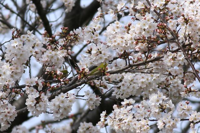 カワセミ112013_1