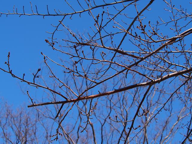 20140319桜の木