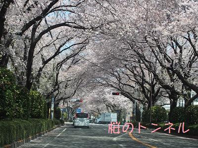 s-桜ちゃん