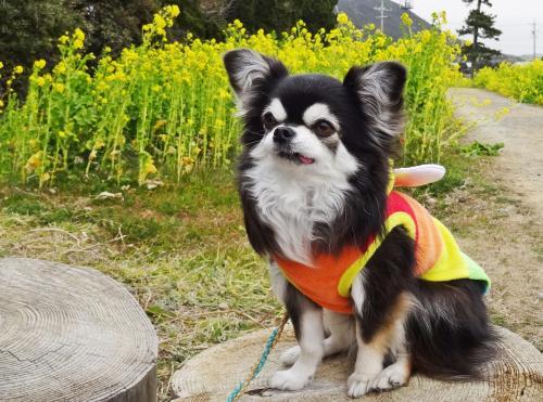 菜の花香る渥美半島