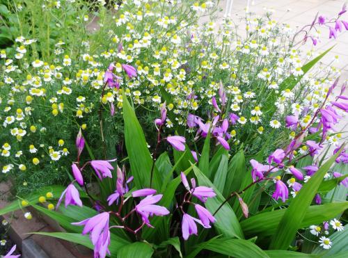 カモミールと紫蘭