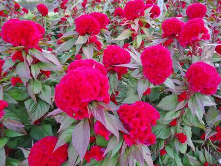 赤いケイトウの花
