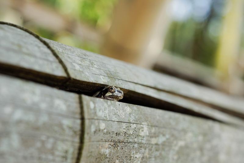 ニホンアマガエル Hyla japonica