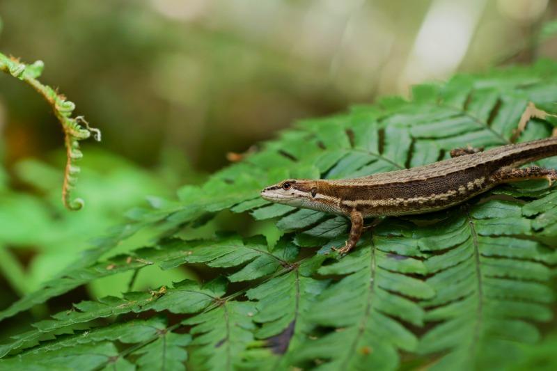 ニホンカナヘビ Takydromus tachydromoides