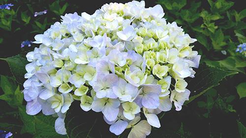 白き紫陽花