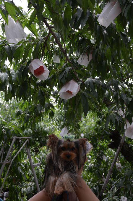 アガサと桃がたくさん