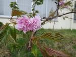 花山周辺 芽吹き (16)