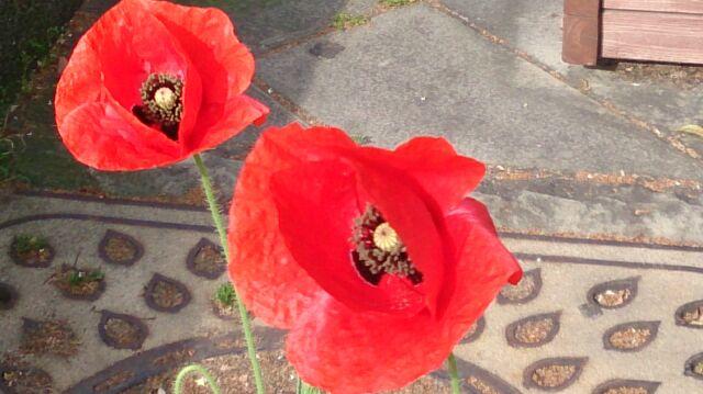 ケシの花2