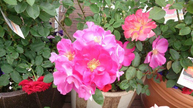 バラの鉢4
