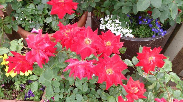 バラの鉢5