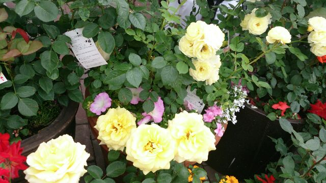 バラの鉢2