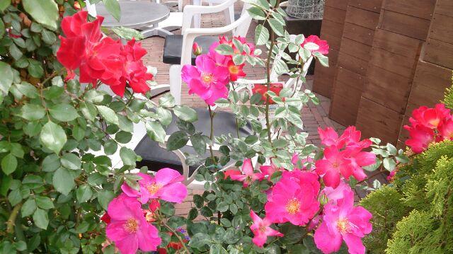バラの鉢7
