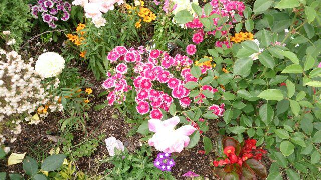 バラの鉢8