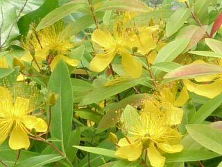 川沿いの黄色い花1