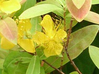 川沿いの黄色い花2