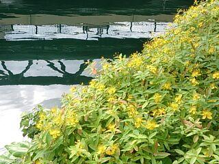 川沿いの黄色い花