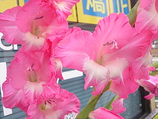 2床屋さんの花