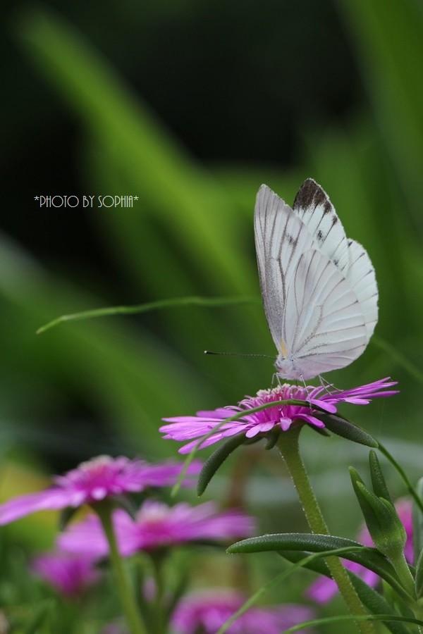 蝶 その2
