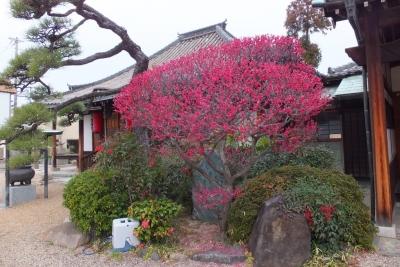140301浄土寺本堂と梅の花