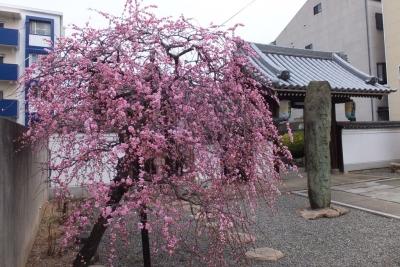 140301浄土寺のしだれ梅